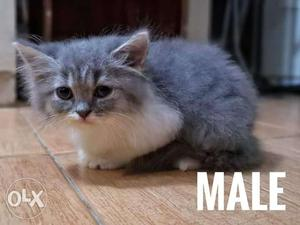 Healthy Persian kitten for sale cash on delivery