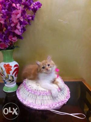 Very Cute And Friendly Persian Kitten