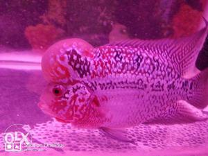 Flowerhorn Fish... With good color you can come