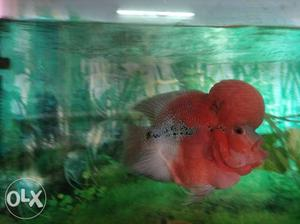 Flowerhorn fish with huge head needs a home.