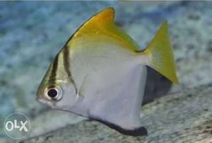 I want to sell one unit of mono angel fish of