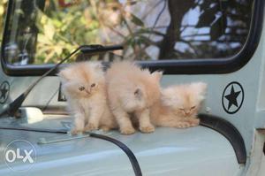 Persian kitten for sale, female kitten long fur