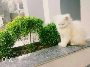 White And Green Fur Cat
