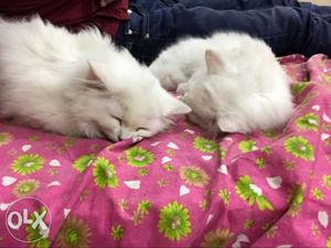 White Persian cat pair
