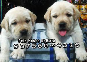 Fifty Five days LABRADOR Dogs And Puppies Sale At KOLKATA