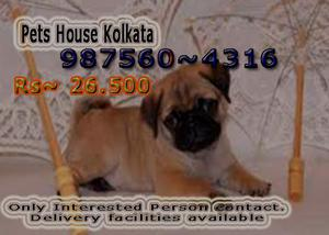 Imported Quality PUG Dogs available At PETS HOUSE KOLKATA