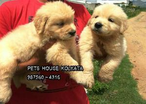 Adorable GOLDEN RETRIEVER Dog for sale at PETS HOUSE KOLKATA