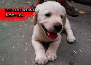 Amazing Top Quality LABRADOR Dog avail at PETS HOUSE KOLKATA
