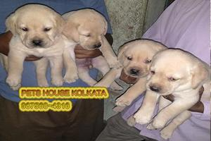 Excellent LABRADOR Pups for sale at PETS HOUSE KOLKATA