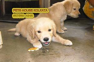 Get The best GOLDEN RETRIEVER Dogs avail PETS HOUSE KOLKATA