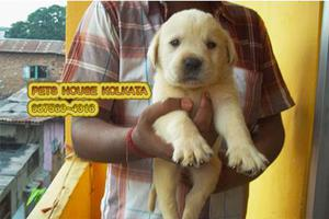 KCI Reg Top LABRADOR Dogs for sale at PETS HOUSE KOLKATA