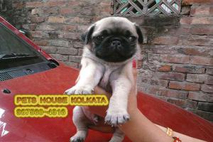 Original PUG Dogs for sale at PETS HOUSE KOLKATA