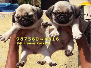 Original Quality PUG Dogs Ready to immediate sale At KOLKATA