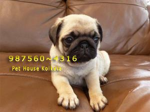 ReadyToLeave Top PUG Dogs 4 sweet home At PET HOUSE KOLKATA