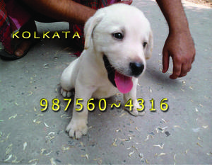 Imported Quality LABRADOR Dogs And Pets Sale At BHUBANESWAR