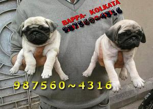 PUG Imported Quality Cute Puppies Ready For Sale KOLKATA
