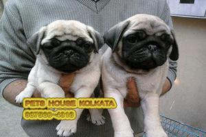 Registered PUG Dogs For Sale at Ranchi PETS HOUSE KOLKATA