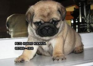 Show Pedigree Top Cute PUG dogs available at KOLKATA