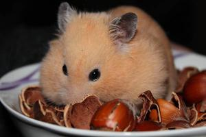 Buy Healthy Hamsters Pair for Sale in Gurgaon at Affordable