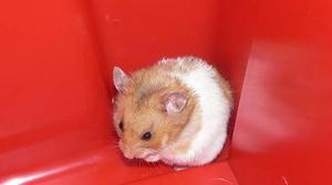 Buy Healthy Hamsters Pair for Sale in Noida at Affordable