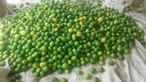 Excellent Agricultural Farm (Lemon) for Sale in Vinjamur,