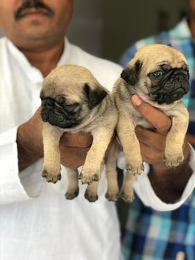 Show quality and superb pug puppies available in Bangalore