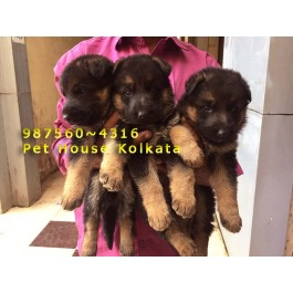 Top Quality LABRADOR Dogs available for sale At PET HOUSE