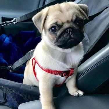 Awesome cute Pug puppies available for free adoption