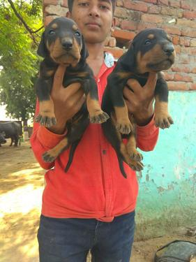 Dachshund Puppies Available Here Trust Kennel