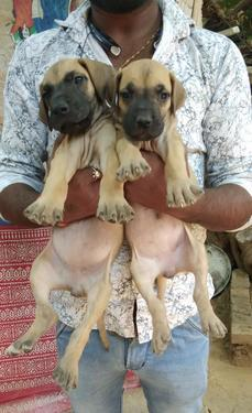 Great Dane Puppies Available Trust Kennel