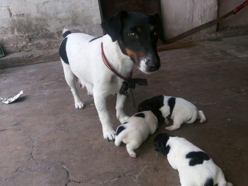Jack Russell Terrier Puppies For sell Trust Kennel