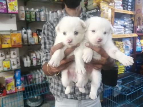 Spitz White Puppies Available For SaleTrust Kennel