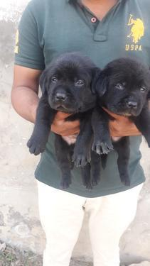 Top High Pedigree Labrador Puppies Available Trust Kennel