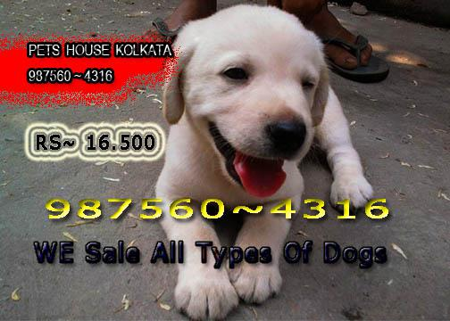 Imported Quality LABRADOR dogs Sale At KOLKATA
