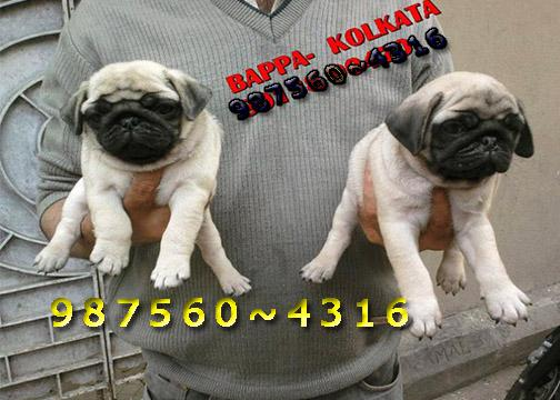 Cute Hutch Vodafone PUG Dogs Pets Sale At PETS HOUSE KOLKATA