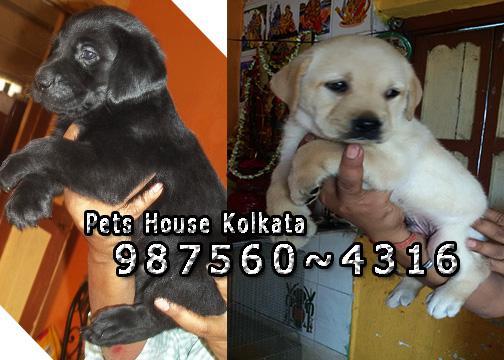 Cute LABRADOR Dogs Available For Sale At Kolkata BARASAT