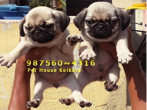 Imported Adorable Cute Little Vodafone PUG Dogs sale IMPHAL