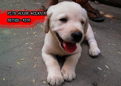 Imported Original Quality LABRADOR Dogs Of Rs 21500 KOLKATA