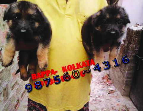 Imported Quality GERMAN SHEPHERD Sale Of Rs 26500 At KOLKATA