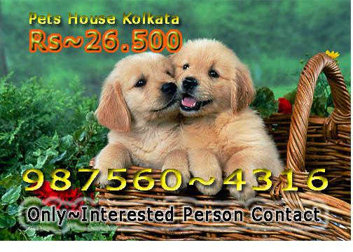 Imported Quality GOLDEN RETRIEVER Dogs Rs 26500 At KOLKATA
