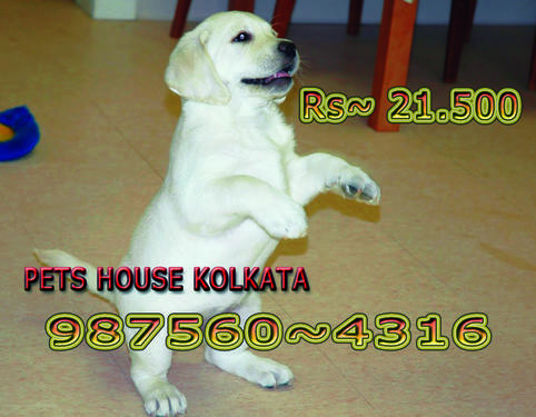 Imported Quality LABRADOR Dogs puppies At DIMAPUR