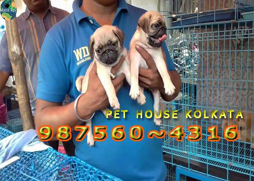 Imported Quality PUG Dogs Pets Of Rs 26500 At KOLKATA