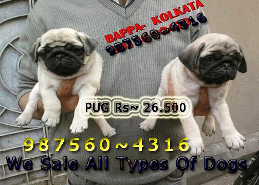 Imported Quality Vodafone PUG Dogs Sale At RAIPUR