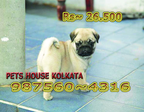 Quality Registered Vodafone PUG Dogs Pups Sale At AIZAWL