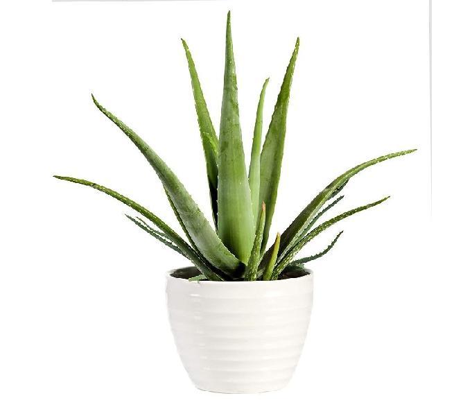 Aloe Vera Plant For Home