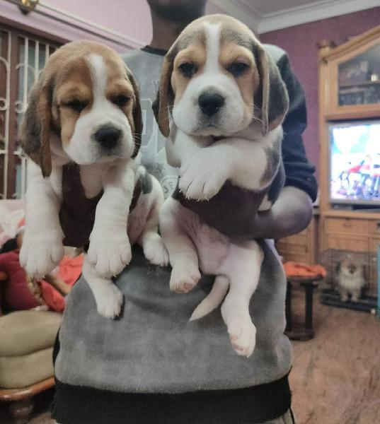 Show Quality All breed Puppies Available in Pune