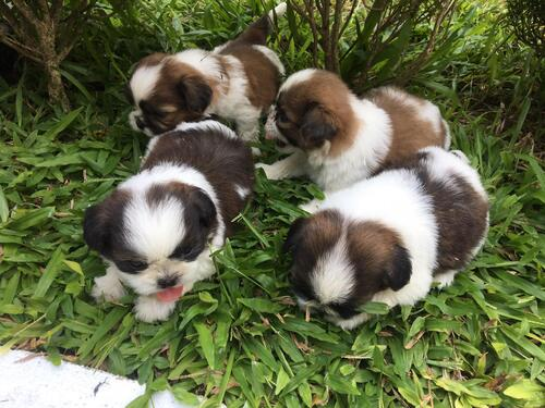 BEST OF BREED AND VACCINATED SHIH TZU PUPPIES FORSAL