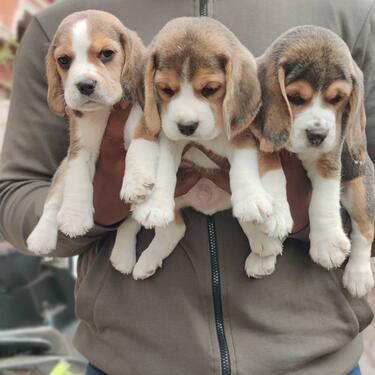 TOP QUALITY KCI AND VACCINATED BEAGLE PUPPIES MALE AND FEMAL